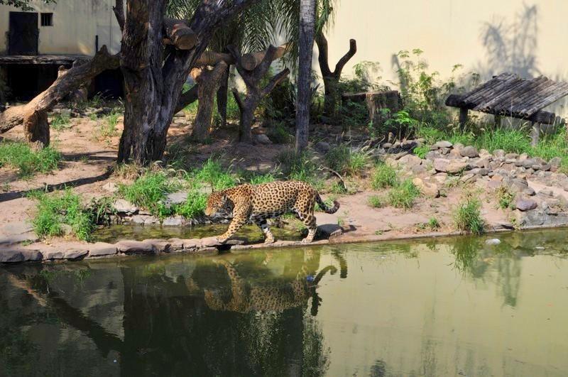Sem a tam chodí jaguár
