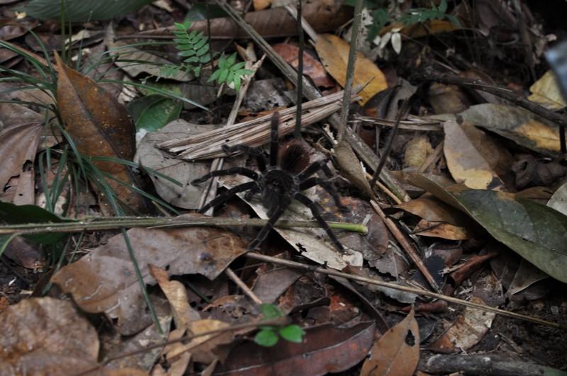 Tarantule v džungli